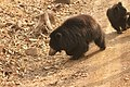 Sloth bear (6).jpg