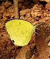 Small Grass Yellow Eurema brigitta by Dr. Raju Kasambe DSCN0775 (11).jpg