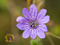 Small purple flower (14354545246).jpg