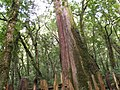 Smangus Giant Trees 司馬庫斯巨木群 - panoramio (2).jpg