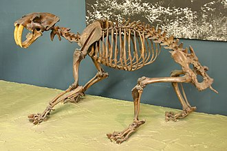 Smilodon - S. fatalis skeleton at National Museum of Natural History, Washington, D.C.