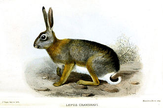Br'er Rabbit - The African savanna hare (Lepus microtis) found all over sub-Saharan Africa: the original Br'er Rabbit.