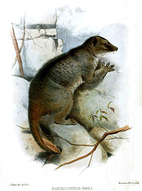 Description de l'image Smit.Pseudochirus dahli.jpg.