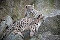 Snow Leopard Kitten Watching Sister Jump (44956921394).jpg