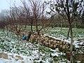Snow in my garden in Jbaa Feb 2010 - panoramio.jpg