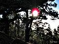 Sol entre los pinos - panoramio.jpg