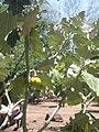Solanum maritimum 002.jpg
