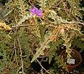Solanum pyracanthum 01 ies.jpg