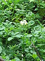 Solanum tuberosum -potato on way from Gangria to Govindghat at Valley of Flowers National Park - during LGFC - VOF 2019 (5).jpg