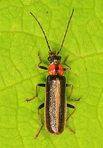Soldier Beetle - Rhagonycha species, Smithsonian Environmental Research Center, Edgewood, Maryland.jpg