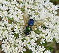 Soldierfly. Broad Centurion. female. Chloromyia formosa. Stratiomyidae - Flickr - gailhampshire.jpg