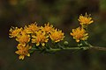 Solidago rigida capitulescence array 01.jpg