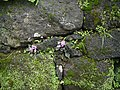 Sonerila scapigera (5974576544).jpg