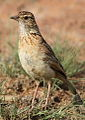 Song and dance routine of the Rufous-naped Lark, Mirafra africana at Rietvlei Nature Reserve, Gauteng, South Africa (16044096782).jpg