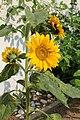 Sonnenblume 2015-07-03 2119.JPG