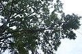 Sophora microphylla kz1.jpg