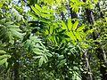 Sorbus domestica sl1.jpg
