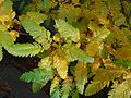 Sorbus pinnatifida autumn.jpg