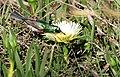 Southern Double-collared Sunbird (Cinnyris chalybeus) on Ice Plant flower (Carpobrotus edulis) ... (31358099946).jpg