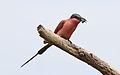 Southern carmine bee-eater, Merops nubicoides, Savuti marsh, Chobe National Park, Botswana (32462175595).jpg