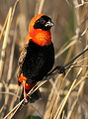 Southern red bishop, Euplectes orix, at Rietvlei Nature Reserve, Gauteng, South Africa (15430494713).jpg