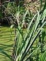 Sparganium erectum 20060914 3.jpg
