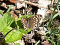 Speckled Wood butterfly - geograph.org.uk - 422222.jpg