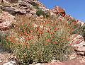 Sphaeralcea ambigua 15.jpg