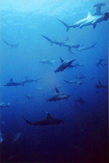Un grupo de tiburones  cabezas de martillo festoneadas.