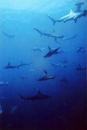 Scalloped hammerhead - A school of scalloped hammerheads.
