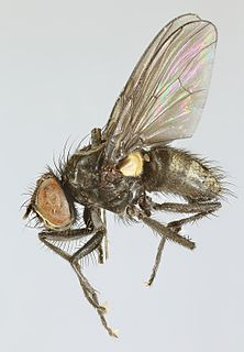 <i>Spilogona aerea</i> species of insect