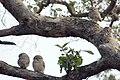 Spotted owlet Athene brama (2155234922).jpg