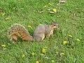 Squirrel (Sciurus niger) 07-01-2005 a.JPG