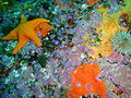Srawberry anemones at Partridge Point P9205506.JPG