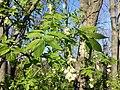 Staphylea pinnata sl18.jpg