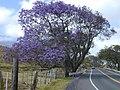 Starr-010423-0002-Jacaranda mimosifolia-habit-Kula-Maui (24164589009).jpg