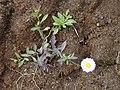 Starr-030419-0008-Erigeron karvinskianus-small plant-Polipoli-Maui (24522420052).jpg