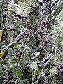 Starr-040723-0318-Solanum americanum-fruit-Puu Kole-Hawaii (24714946385).jpg