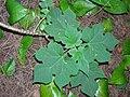 Starr-060810-8506-Montanoa hibiscifolia-habit-Nuuanu-Oahu (24770708281).jpg