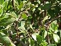 Starr-070404-6631-Conocarpus erectus-leaves and fruit-Keomoku Beach-Lanai (24591542880).jpg