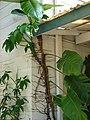 Starr-080531-4872-Epipremnum pinnatum-climbing on house with Syngonium-Halsey Dr around residences Sand Island-Midway Atoll (24543285439).jpg