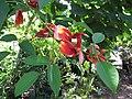 Starr-110215-1411-Erythrina crista galli-flowers and leaves-KiHana Nursery Kihei-Maui (24444898974).jpg