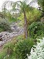 Starr-110307-2719-Syagrus romanzoffiana-habit-Kula Botanical Garden-Maui (24960524752).jpg