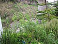 Starr-110307-2762-Aloysia citrodora-habit-Kula Botanical Garden-Maui (24783143920).jpg