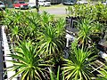 Starr-110524-5836-Argyroxiphium grayanum-in greenhouse-Haleakala National Park-Maui (24800458870).jpg