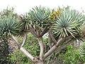 Starr-120403-4178-Dracaena draco-branches-Kula-Maui (25112224196).jpg