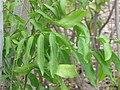Starr-120504-5540-Sapindus saponaria-leaves-Maui Nui Botanical Garden-Maui (24846559580).jpg