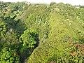 Starr-141014-2189-Caesalpinia decapetala-aerial view-Kakipi Gulch Haiku-Maui (25128925172).jpg