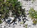 Starr-150326-0990-Dactyloctenium aegyptium-seedheads-Town Sand Island-Midway Atoll (25174158951).jpg