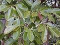 Starr 030405-0019 Psidium cattleianum.jpg